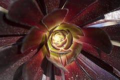 Arboreum var del Aeonium atropurpureum Imagenes de archivo