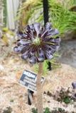 Arboreum varietà di aeonium atropurpureum Fotografie Stock Libere da Diritti