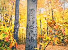 Arborglyphs. A forest of aspen trees with  yellow leaves in autumn Stock Image