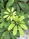 Arboricola Schefflera стоковая фотография rf