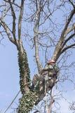 Arborist используя цепную пилу для того чтобы отрезать дерево грецкого ореха Стоковое Изображение