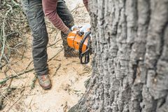 Arborist with chainsaw cutting large tree trunk of old oak. Arborist with chainsaw cutting large tree trunk of an old oak Stock Images