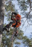 Arborist climbing a tree with a chainsaw. An arborist climbing a tree with a chainsaw hanging. Stockholm archipelago, Sweden. Europe royalty free stock photos
