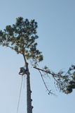 Arborist Climbs Tall Pine. Tree and begins to cut limbs off Royalty Free Stock Photos
