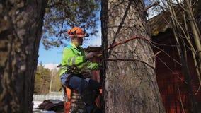 Arborist climbs a tree trunk