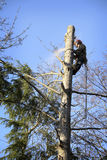 Arborist cutting tree. An arborist cutting a tree with a chainsaw Stock Images