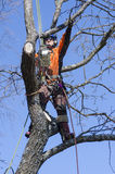 Arborist cutting tree. An arborist cutting a tree with a chainsaw Royalty Free Stock Photo
