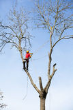 An arborist cutting a tree. With a chainsaw Royalty Free Stock Photos