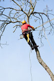 An arborist cutting a tree. With a chainsaw Royalty Free Stock Image