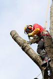 An arborist cutting a tree. With a chainsaw Stock Image