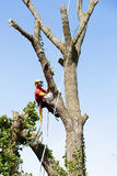 An arborist cutting a tree with a chainsaw Royalty Free Stock Photos