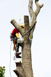 An arborist cutting a tree with a chainsaw Royalty Free Stock Image