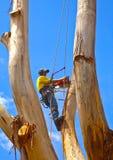 Arborist die een grote boom met kettingzaag en veiligheidskabels snoeien Royalty-vrije Stock Foto's