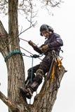 Arborist die een kettingzaag met behulp van om een okkernootboom te snijden Houthakker met zaag en uitrusting die een boom snoeie stock foto