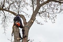Arborist die een kettingzaag met behulp van om een okkernootboom te snijden Houthakker met zaag en uitrusting die een boom snoeie stock fotografie