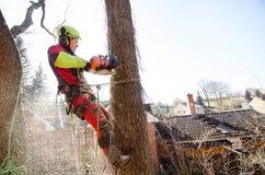 Arborist mężczyzna ciąć gałąź z piłą łańcuchową i rzutem na ziemi Pracownik z hełmem pracuje przy wzrostem na drzewach tarcica Obrazy Stock