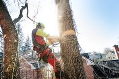 Arborist man cutting a branches with chainsaw and throw on a ground. The worker with helmet working at height on the trees. Lumber. Jack working with chainsaw Stock Image