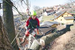 Arborist man cutting a branches with chainsaw and throw on a ground. The worker with helmet working at height on the trees. Lumber. Jack working with chainsaw Stock Photo
