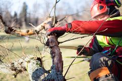 Arborist man cutting a branches with chainsaw and throw on a ground. The worker with helmet working at height on the trees. Lumber. Jack working with chainsaw Royalty Free Stock Photo