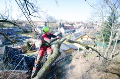 Arborist man cutting a branches with chainsaw and throw on a ground. The worker with helmet working at height on the trees. Lumber. Jack working with chainsaw Royalty Free Stock Images