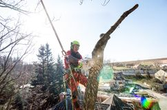 Arborist man cutting a branches with chainsaw and throw on a ground. The worker with helmet working at height on the trees. Lumber. Jack working with chainsaw Stock Photos