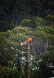 Arborist no trabalho que abate um pinheiro Imagem de Stock