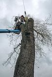 Arborist in platform cutting old oak with chainsaw. Arborist in platform cutting old oak with a chainsaw Royalty Free Stock Photo