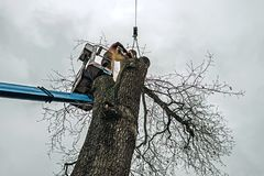 Arborist in platform cutting old oak with chainsaw. Arborist in platform cutting old oak with a chainsaw Stock Photography