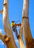 Arborist pruning a large tree with chain saw and safety ropes Royalty Free Stock Photos