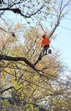 Arborist pruning tree branches . Royalty Free Stock Photo