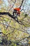 Arborist pruning tree branches . Royalty Free Stock Images