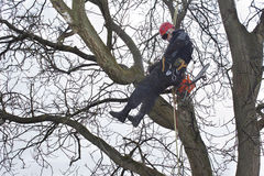 Arborist sawing wood chainsaw at the height Royalty Free Stock Photography