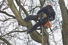 Arborist sawing wood chainsaw at the height. An arborist using a chainsaw to cut a walnut tree, Work at height Stock Image