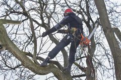 Arborist sawing wood chainsaw at the height. An arborist using a chainsaw to cut a walnut tree, Work at height Stock Images