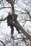 Arborist sawing wood chainsaw at the height. An arborist using a chainsaw to cut a walnut tree, Work at height Royalty Free Stock Image