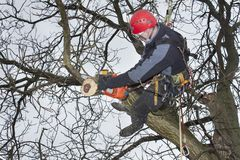 Arborist sawing wood chainsaw at the height. An arborist using a chainsaw to cut a walnut tree, Work at height Royalty Free Stock Photo