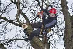 Arborist sawing wood chainsaw at the height. An arborist using a chainsaw to cut a walnut tree, Work at height Stock Photos