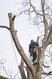 Arborist sawing wood chainsaw at the height Stock Image