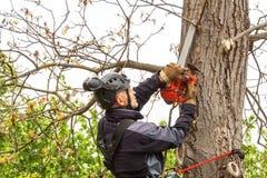 Arborist som använder en chainsaw för att klippa ett valnötträd Skogsarbetaren med såg och selet som beskär ett träd royaltyfri bild