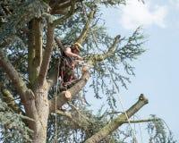 Arborist som arbetar upp ett träd royaltyfria bilder