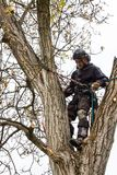 Arborist używa piłę łańcuchową ciąć orzecha włoskiego drzewa Lumberjack z przycina drzewa zobaczył i nicielnica zdjęcie royalty free