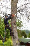Arborist using a chainsaw to cut a walnut tree. Lumberjack with saw and harness pruning a tree. Arborist using a chainsaw to cut a walnut tree. Lumberjack with Stock Photos