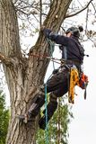 Arborist using a chainsaw to cut a walnut tree. Lumberjack with saw and harness pruning a tree. Arborist using a chainsaw to cut a walnut tree. Lumberjack with Royalty Free Stock Photography