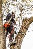 Arborist using a chainsaw to cut a walnut tree. Lumberjack with saw and harness pruning a tree. Arborist using a chainsaw to cut a walnut tree. Lumberjack with Royalty Free Stock Image