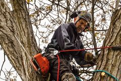 Arborist using a chainsaw to cut a walnut tree. Lumberjack with saw and harness pruning a tree. Arborist using a chainsaw to cut a walnut tree. Lumberjack with Royalty Free Stock Photos