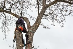 Arborist using a chainsaw to cut a walnut tree. Lumberjack with saw and harness pruning a tree. Stock Photography