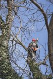 An arborist using a chainsaw to cut a walnut tree Royalty Free Stock Photo
