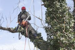 An arborist using a chainsaw to cut a walnut tree Royalty Free Stock Photos
