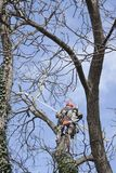 An arborist using a chainsaw to cut a walnut tree Stock Photos