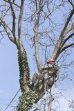 An arborist using a chainsaw to cut a walnut tree Stock Image